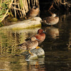 Cinnamon Teal ducks (male and female)