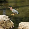 Green Heron jumping from rock to rock