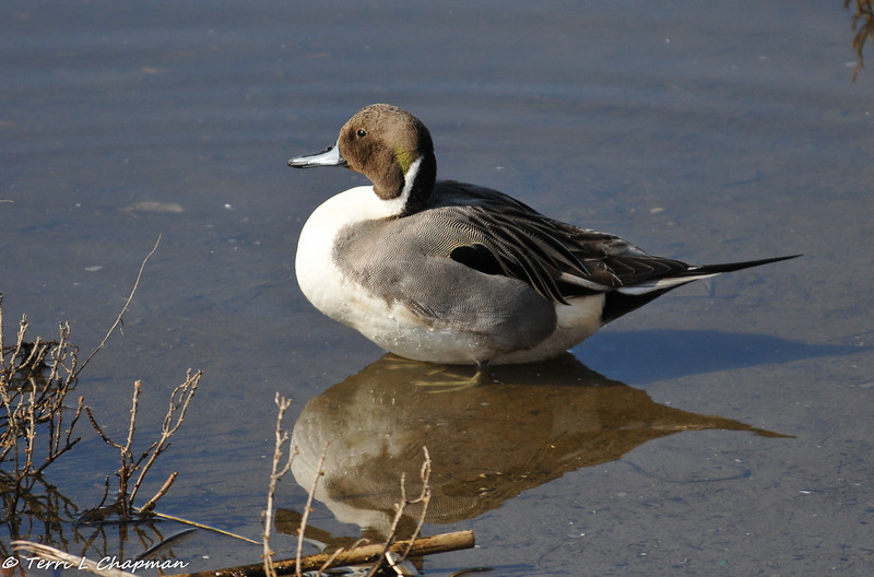 A male Northern Pintail. This beautiful and elegant duck is considered a threatened species since their numbers have declined due to reduction in habitat and droughts. This species has the longest tail of any freshwater duck.