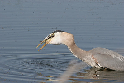 Meal time at Farmington Bay Waterfowl Managemen Area for this great blue heron.  Phil Douglass