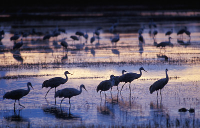 Sandhill cranes foraging on shore during sunset.
