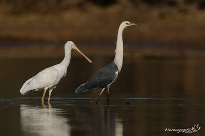 Yellow Billed Spoonbill & White Necked Heron