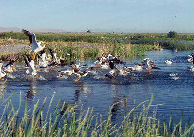 American white pelicans, Pelecanus erythrorhynchos, in the marshes of Farmington Bay, Great Salt Lake, Utah. Photo by David Lewis