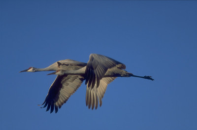 a pair of flying sandhill cranes