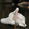 An American White Pelican grooming his feathers