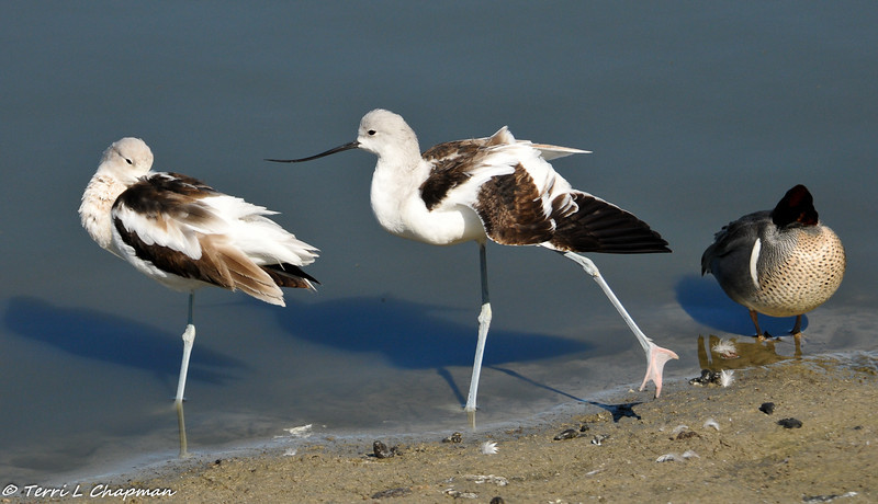 American Avocets and a Green-winged Teal