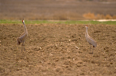 Sandhill cranes in a field vocalizing with their heads in the air.  Photo by Ron Stewart, Utah Division of Wildlife Resources.