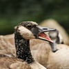 A young Canada Goose, and its sibling in the background, yawning as it rests