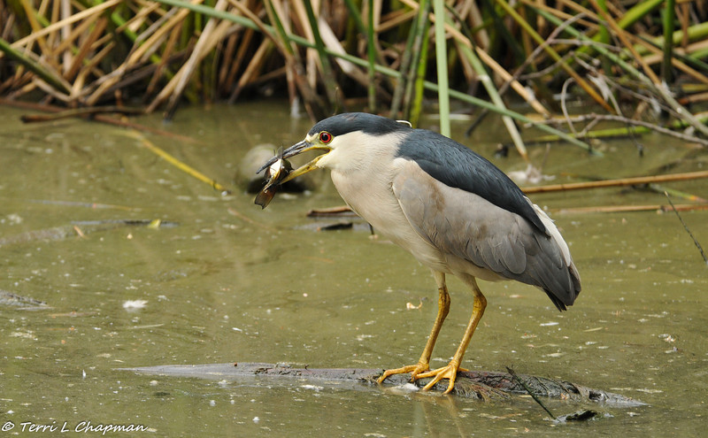 A Black-crowned Night Heron caught a fish