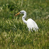 A Great Egret eating a lizard in an open field