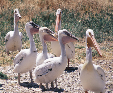 flock of American white pelicans on land with good view of webbed feet