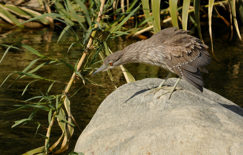 Black-crowned Night Heron (juvenile) hoping to catch a fish