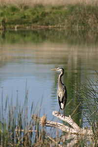 Great blue heron standing on a log over the water.  Photo by Scott Root, Utah Division of Wildlife Resources.