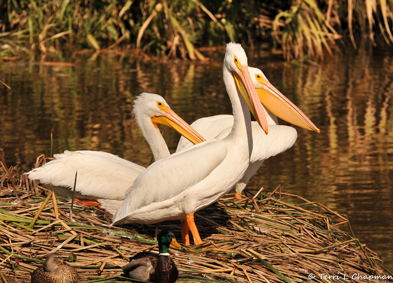 American White Pelicans (and Mallards) resting on the pushed down reeds in the LA River