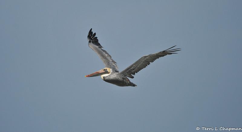 A Brown Pelican in flight