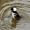 A male Hooded Merganser taking a bath in the LA River. I was photographing the bird from a bridge overhead