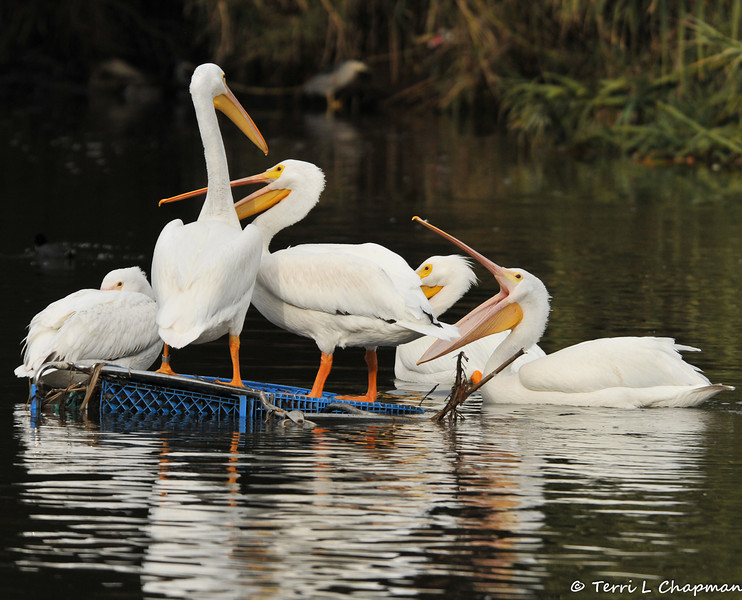 A group of American White Pelicans fighting over a shopping cart, which they found in the LA River, and found it to be a great place to stand and rest upon.