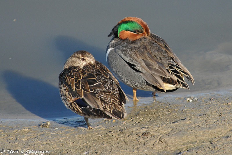 A pair of Green-winged Teal ducks