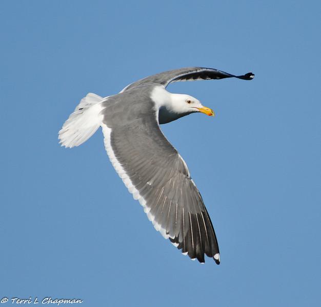 California Gull in flight