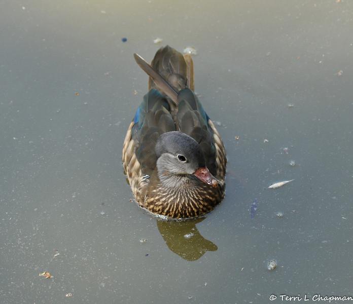 A Mandarin Duck (female)