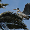 A Great Blue Heron coming in for a landing in this palm tree where several herons were nest building