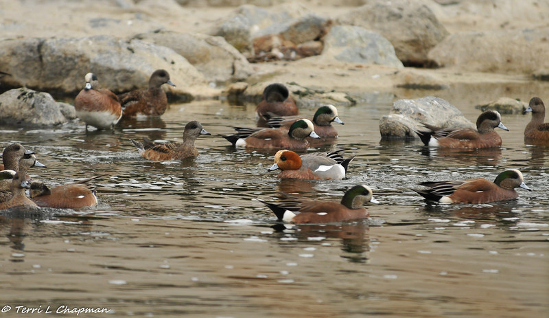 A lone Eurasian Wigeon (duck with chestnut head), which is considered a rare bird species for the Los Angeles area, amongst a flock of American Wigeons in the LA River. Eurasian Wigeons breed from Iceland, the British Isles and Scandinavia east to eastern Siberia and Kamchatka, and south to northern Europe, central Russia and northern China. There are no breeding records of Eurasian Wigeons in North America. The majority of Eurasian wigeons winter from Iceland, the British Isles, northern Europe, southern Russia and Japan south to the eastern Atlantic islands, Africa, Arabia, India, the Malay Peninsula, southern China, Formosa and the Philippines.