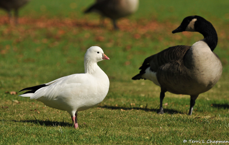 A Ross's Goose and a Canada Goose.