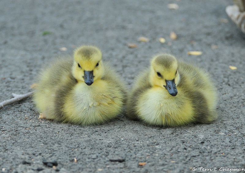 Two Goslings (Canada Geese) resting on the pavement next to the pond at the LA Arboretum. It is exhausting being babies!