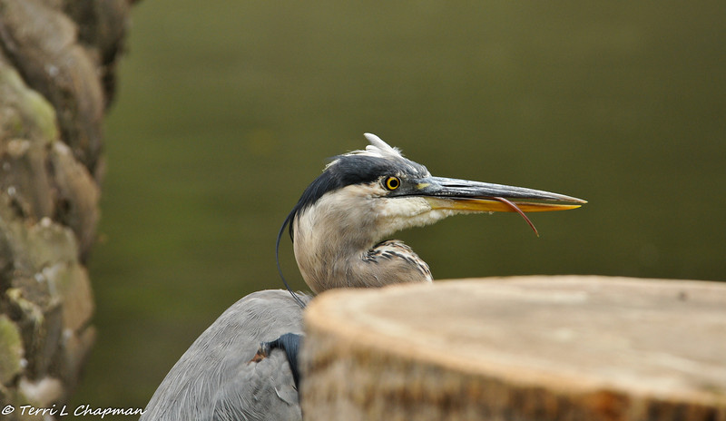 A Great Blue Heron licking its bill