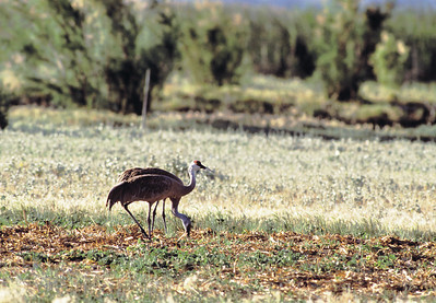 Two sandhill cranes foraging in a field.
