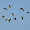 A flock of American Wigeons