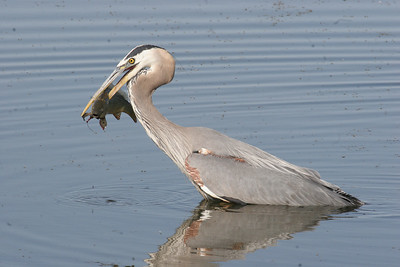 This carp at Farmington Bay Waterfowl Managemen Area was speared by the lower mandible of by this great blue heron.  Phil Douglass.