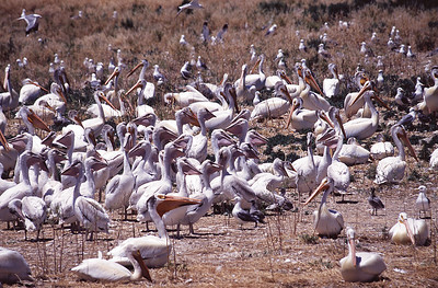 American white pelicans probably at Gunnison Island in the Great Salt Lake
