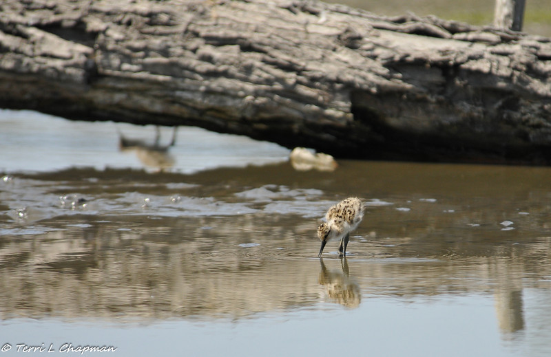 Newborn American Avocets (a reflection of one of the Avocet's can be seen behind the log)