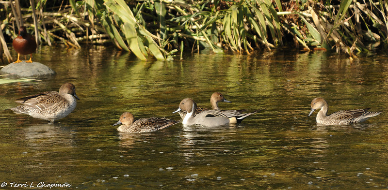Northern Pintails (male and several females) and a Cinnamon Teal in the background