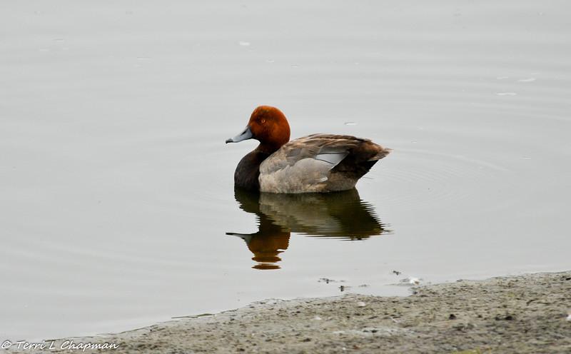 A Redhead Duck