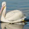 An American White Pelican