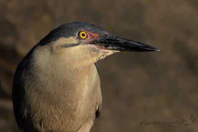 Striated Heron - Adult Breeding Plumage