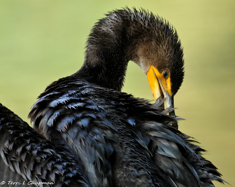 Double-crested Cormorant grooming after a swim