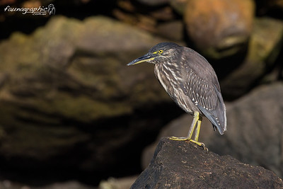 Juvenile Striated Heron