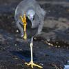 Eastern Reef Egret (Egretta sacra)