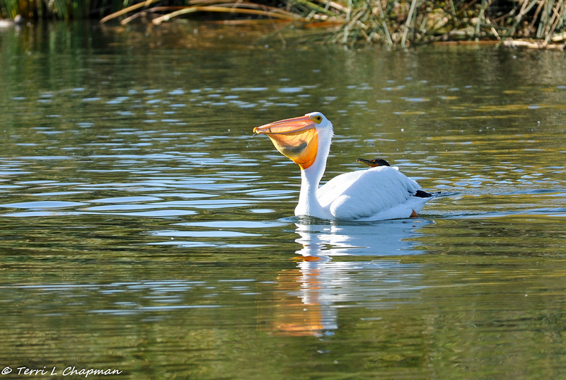 An American White Pelican eating a fish with a Double-crested Cormorant in the background trying to steal the fish!