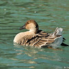A Swan Goose
