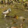 A Black-crowned Night Heron trying to find a small enough fish to catch while it is surrounded by large catfish