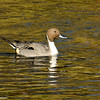 Northern Pintail (male). This beautiful and elegant duck is considered a threatened species since their numbers have declined due to reduction in habitat and droughts. This species has the longest tail of any freshwater duck.