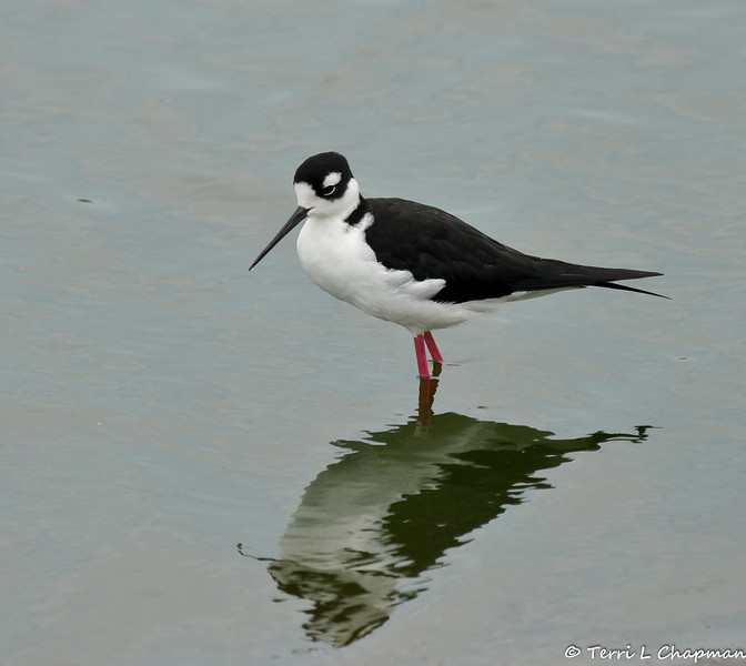 A Black-necked Stilt