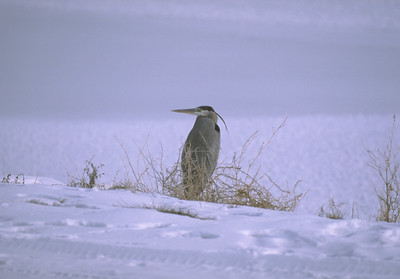 Great blue heron in winter. Photo by Phil Douglass.