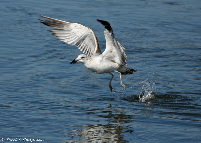Ring-billed Gull taking flight after catching a mussel