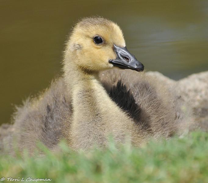 Gosling (Canada Goose)