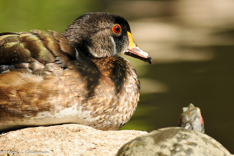 A Wood Duck, with non-breeding plumage, sharing a pond boulder with a red-eared slider turtle